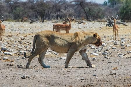 Lioness  Panthera leo  in the Etosha National Park, Namibia Stock Photo