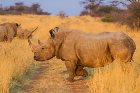 Rhino  Rhinocerotidae  at Sunset, Namibia