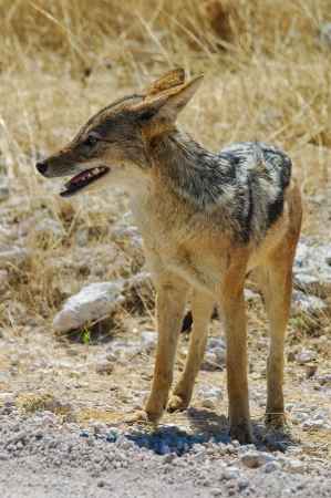 Backed jackal  Canis mesomelas  in the savanna, Namibia