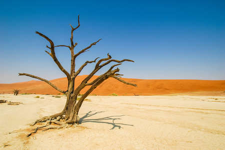 withered tree in the Namib desert, Namibia