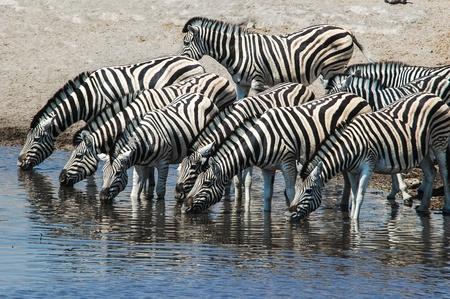 Drinking Zebra  Equus quagga  in the Etosha National Park, Namibia