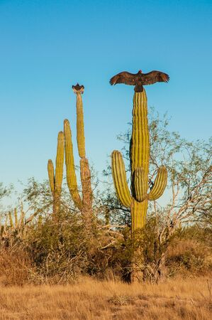 Turkey vultures sitting on cactus and dry their wings in the sun, Baja California, Mexico photo