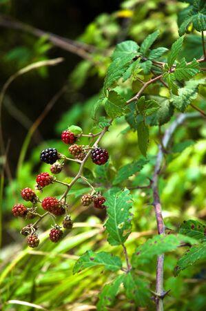 foglia: berry Stock Photo