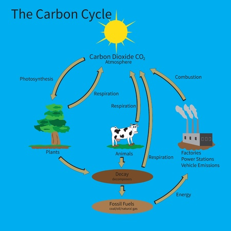 The Carbon Cycle showing how carbon is recycled in the environment. Vector
