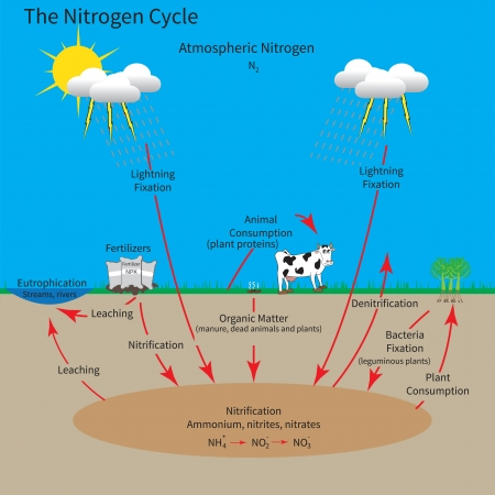 The nitrogen cycle showing how the element nitrogen is cycled through the environment.