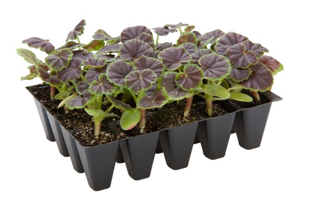 Geranium plug plants in seed tray Stock Photo