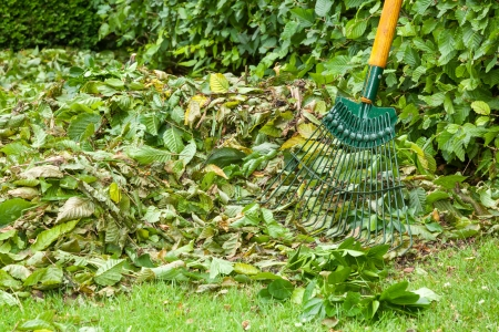 Beech hedge prunings raked together