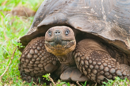 coldblooded: Single giant tortoise looking face on to camera showing a closeup of the face