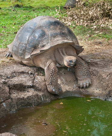 coldblooded: Giant Tortoise getting ready to drink from a water hole