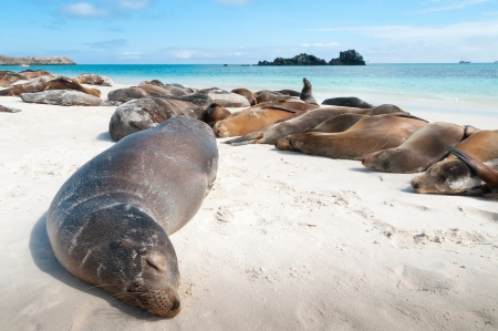 Espanola Island Galapagos with many sea-lions sleeping on a beach  Stock Photo