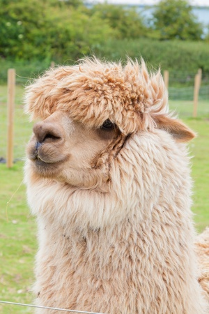 Single alpaca farmed for its thick fleece which makes a fine wool  photo