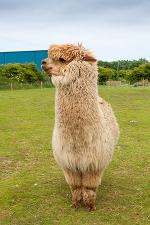 farmed: Single alpaca farmed for its thick fleece which makes a fine wool