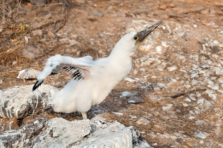 booby: Young Nasca Booby exercising its wings.