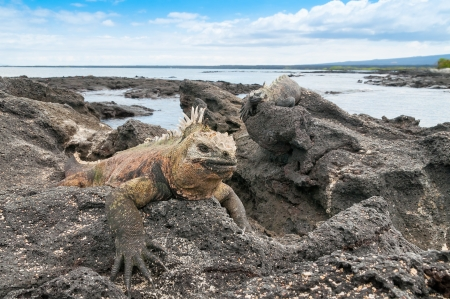 Galapagos marine iguana resting on volcanic beach head  Stock Photo