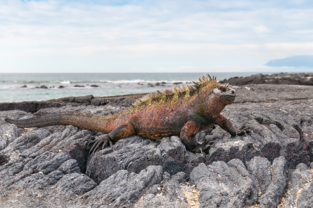 Colorful male marine iguana on volcanic rock  Imagens