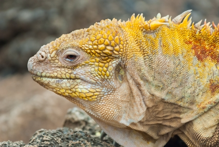coldblooded: Close up of the head of a Galapagos land iguana