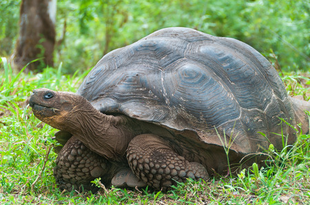 coldblooded: Single giant Galapagos tortoise.