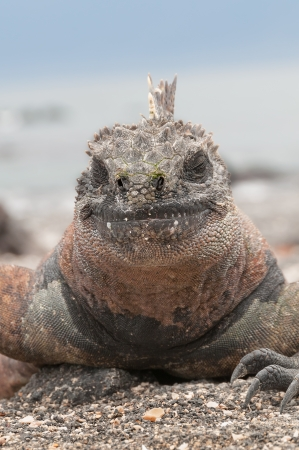 Colorful male marine iguana on volcanic rock head in close up. photo