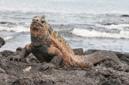 Colorful male marine iguana on volcanic rock. photo