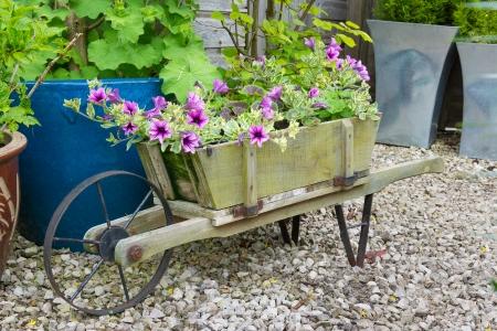 Wooden wheelbarrow containing trailing surfina petunia plants