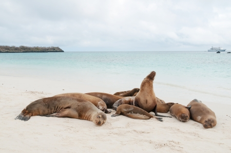 Group of Galapagos sea lions asleep on a beach