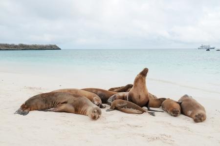 Group of Galapagos sea lions asleep on a beach