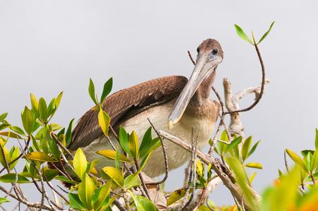 Brwon pelican perching