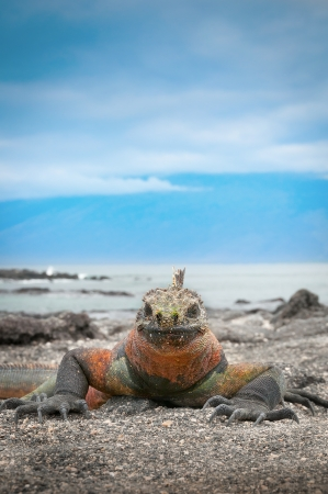 Galapagos marine iguana face on photo