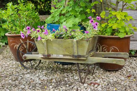 trailing: Wooden wheelbarrow containing trailing surfina petunia plants