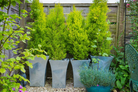evergreen trees: Garden with evergreen trees in containers