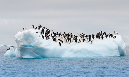 Large group of adele penguins on iceberg