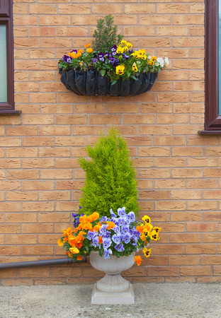 Container and hanging basket with spring winter flowering pansies. photo