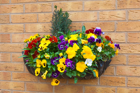 Winter and spring flowering hanging basket with trailing ivy pansies