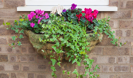 trailing: Winter and spring flowering hanging basket with trailing ivy cyclamens Stock Photo