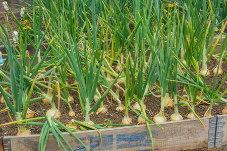 allotment: Onions growing on a garden allotment Stock Photo