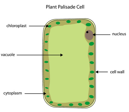 Labelled diagram of a plant palisade cell where photosynthesis takes place. Illustration
