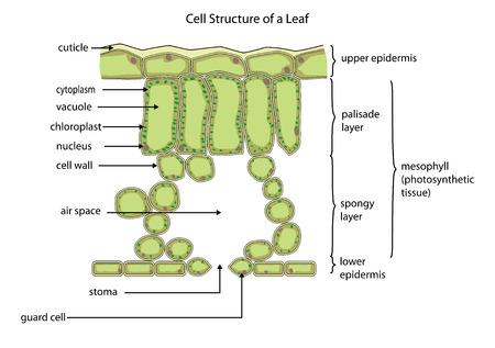 stoma: Sezione di una foglia tipica che mostra la struttura della cella