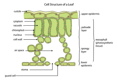 Section through a typical leaf showing the cell structure