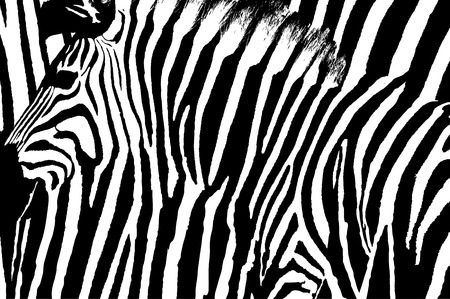 Graphic zebra design with animal blended over itself to create an abstract pattern. Illustration