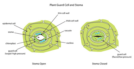 Labeled diagram showing plant stoma open and closed. Ilustração