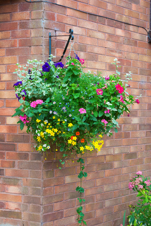 hanging basket: Colorful hanging basket of summer plants attached to a brick wall.