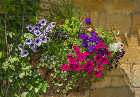 ivy hanging: Colorful plants in wall mounted wrought iron basket  including begonia, petunia, ivy. Stock Photo