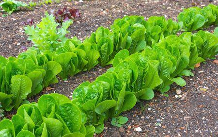 lettuces: Lettuces under cultivation in an allotment garden