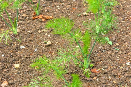 plot: Fennel growing in a vegetable plot