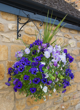 hanging basket: Beatiful hanging basket of blue and purple petunias against a stone wall.