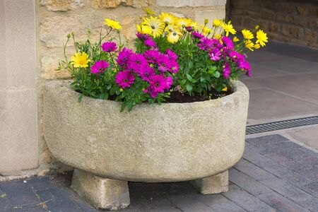 trough: Stone trough with yellow and purple daisies.