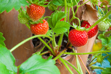 Strawberry plant in a terracotta pot close up of fruits ready for picking