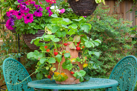 Strawberry plant in a terracotta pot on a garden table.