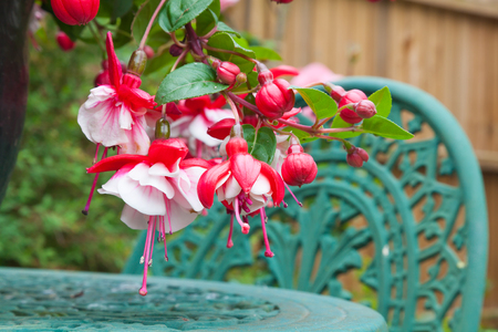fuschia: Close up of fuschia flowers and garden table and chair Stock Photo
