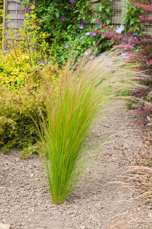 drought    resistant plant: Grass plant set in a an arid garden
